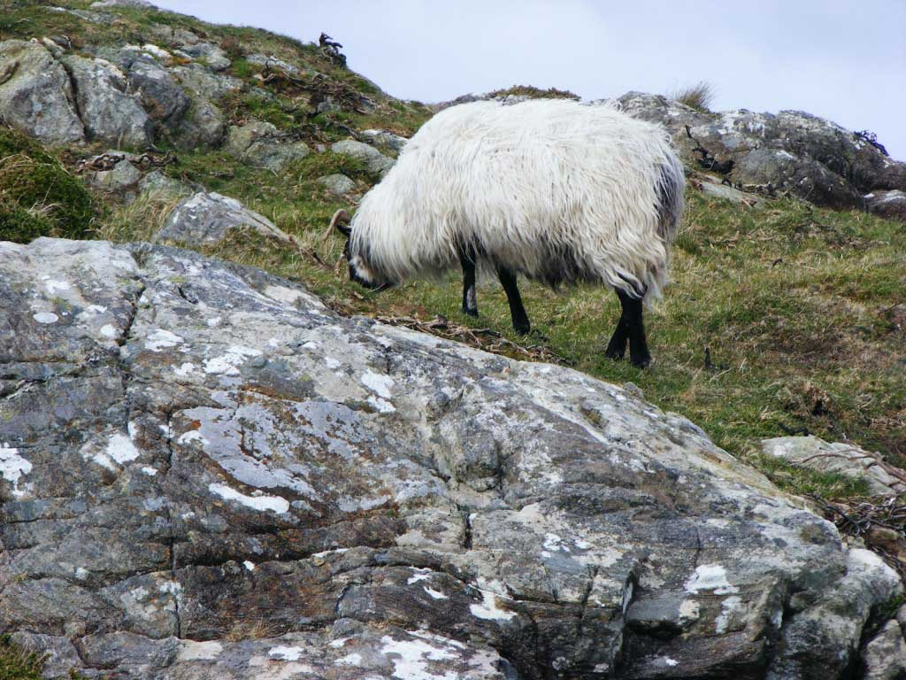Photo of a sheep 3