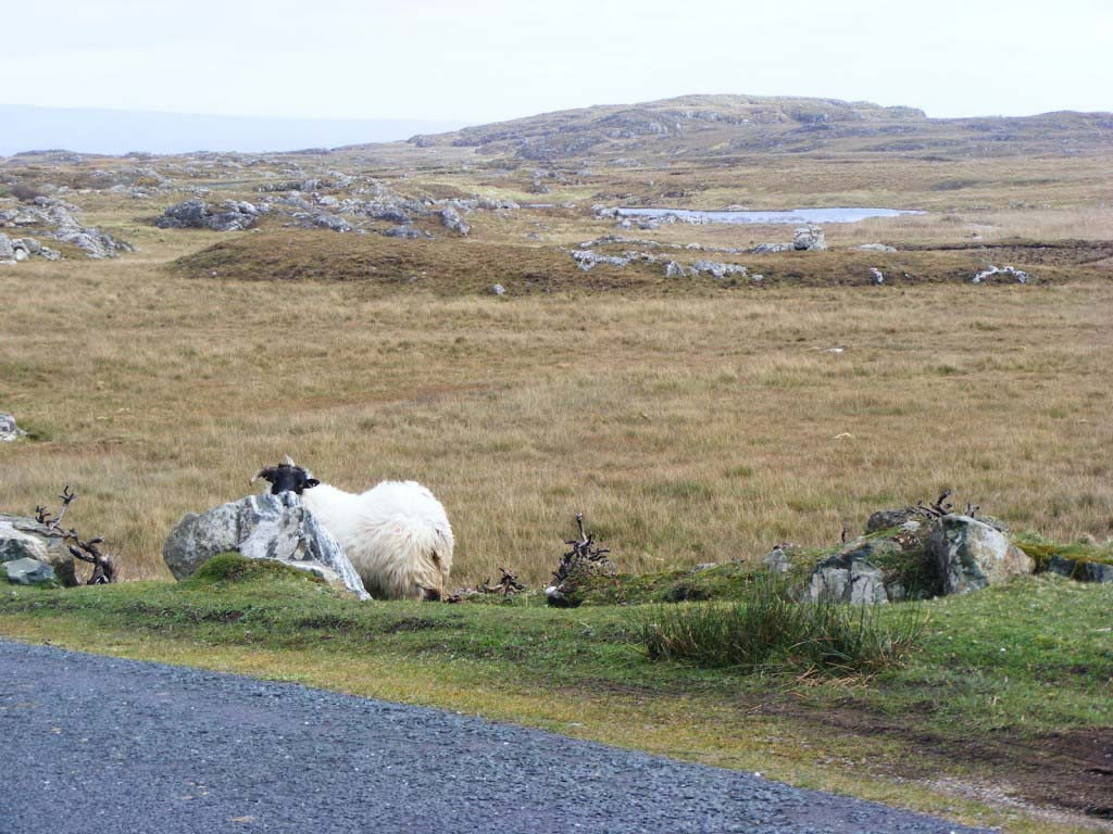 Photo of a sheep 1