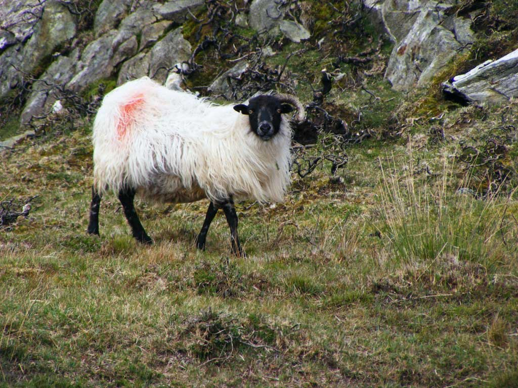 Photo of a sheep 2