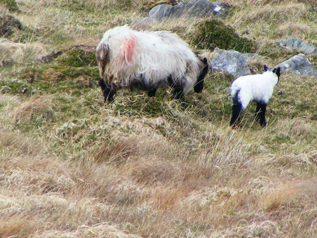 Photo of a Ewe and Lamb