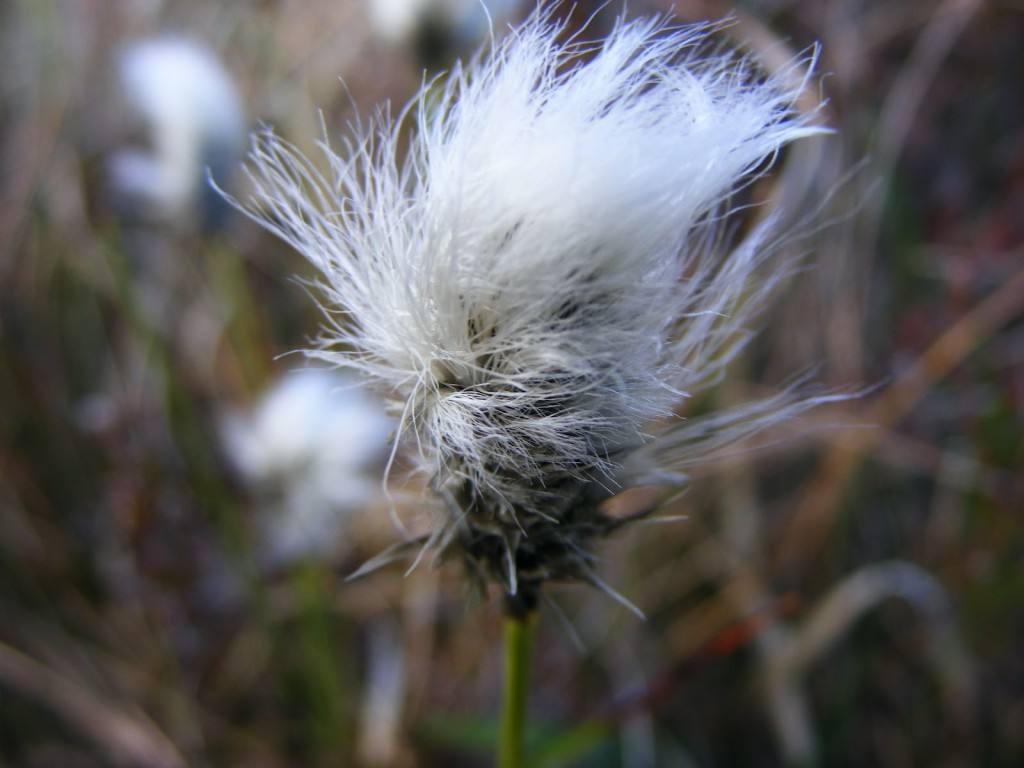 Single headed Bog Cotton
