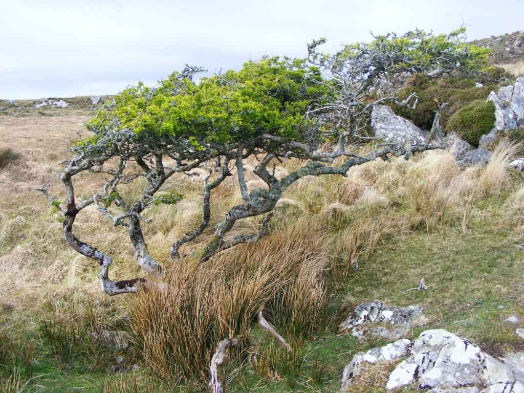 Photo of hawthorn tree