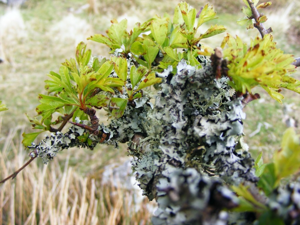 Photo of lichen on hawthorn tree
