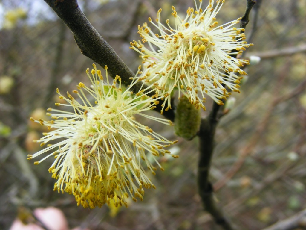 Photo 1 of Willow Catkins
