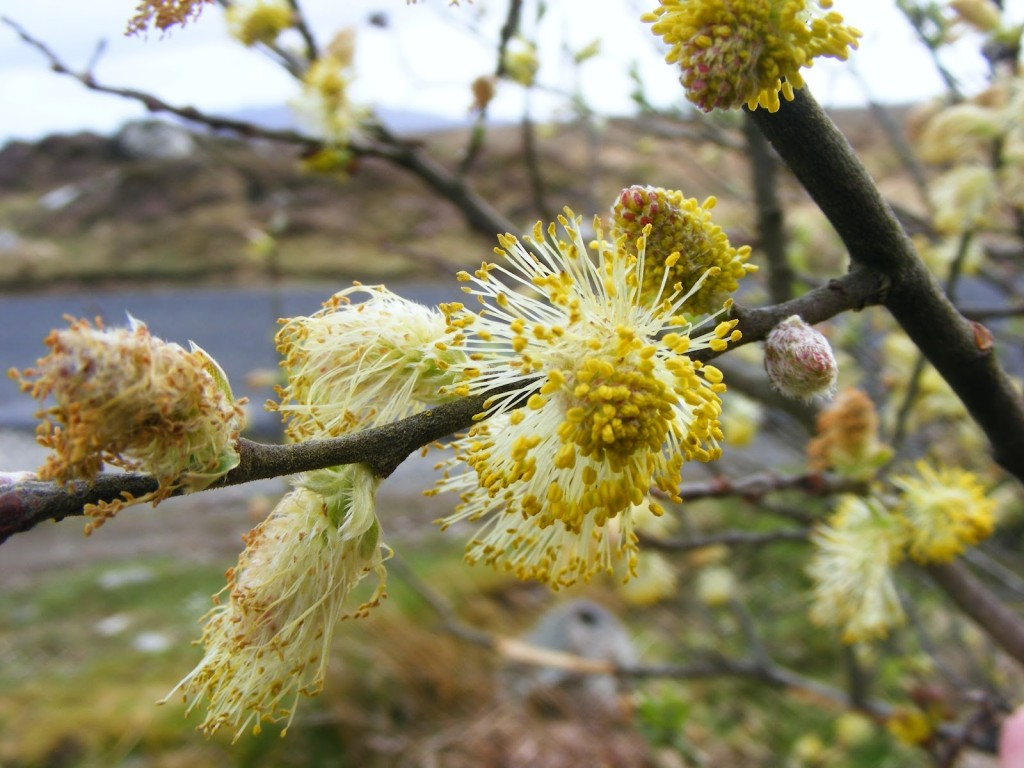 Photo 2 of Willow Catkins