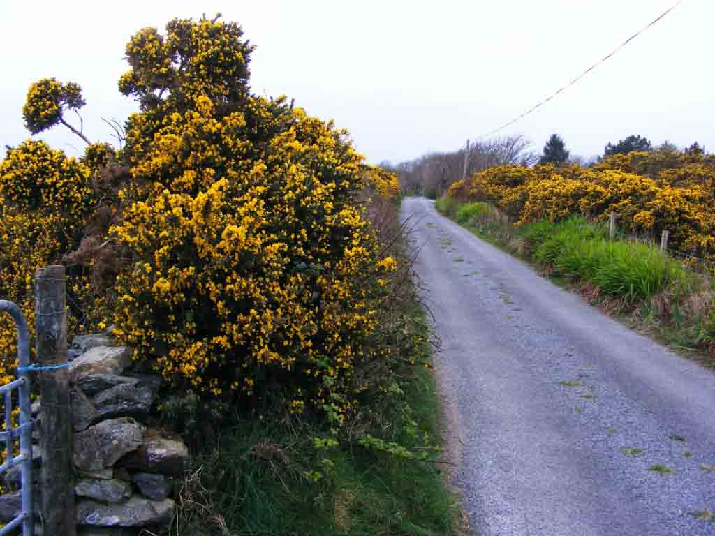 Gorse in Flower 2