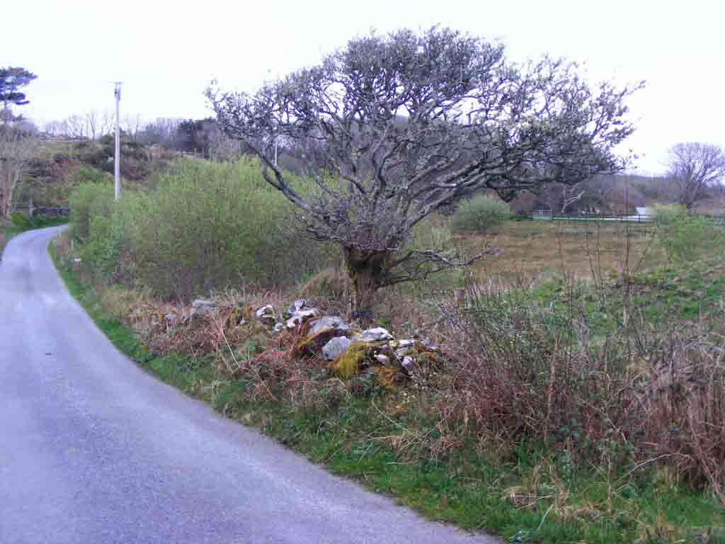 Photo of a Hawthorn tree
