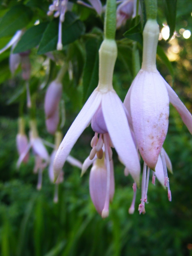 Photo 1 of pink Fuschia
