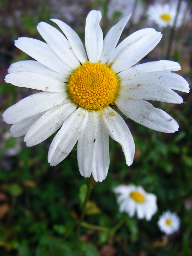 Photo of a Marguerite