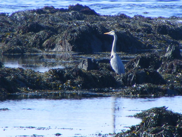 Photo 2 of a Heron