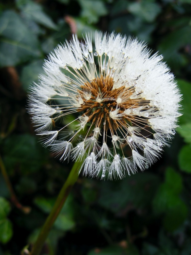 Photo of a Dandelion clock