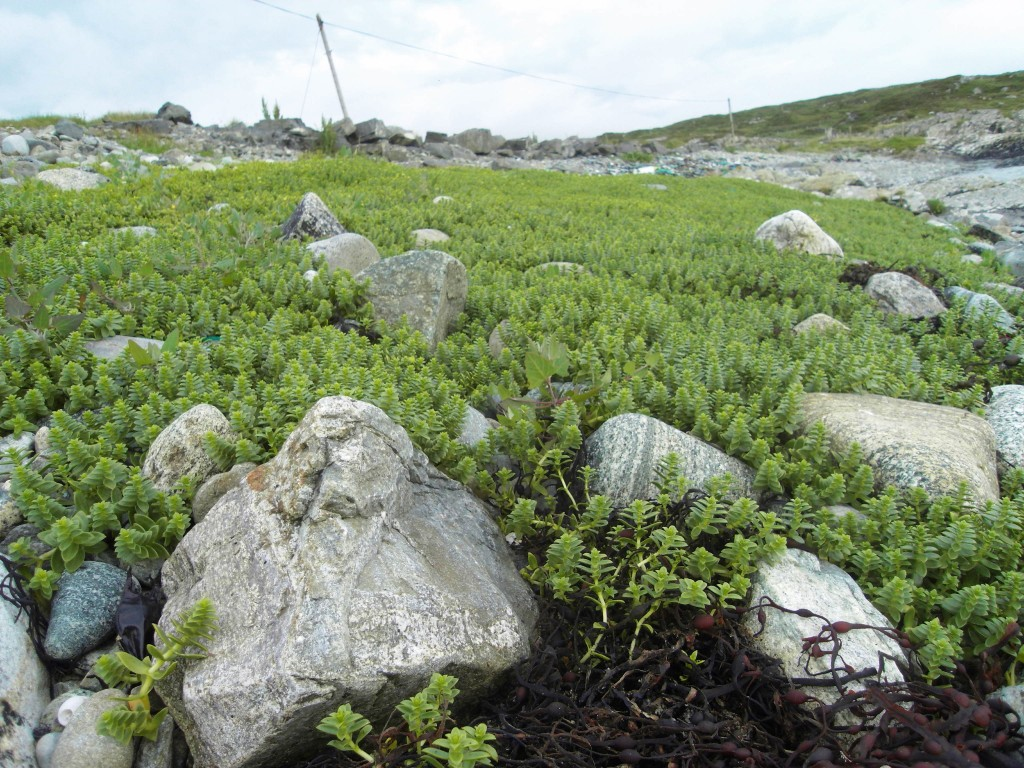 Photograph of rock plant at Errislannan beach