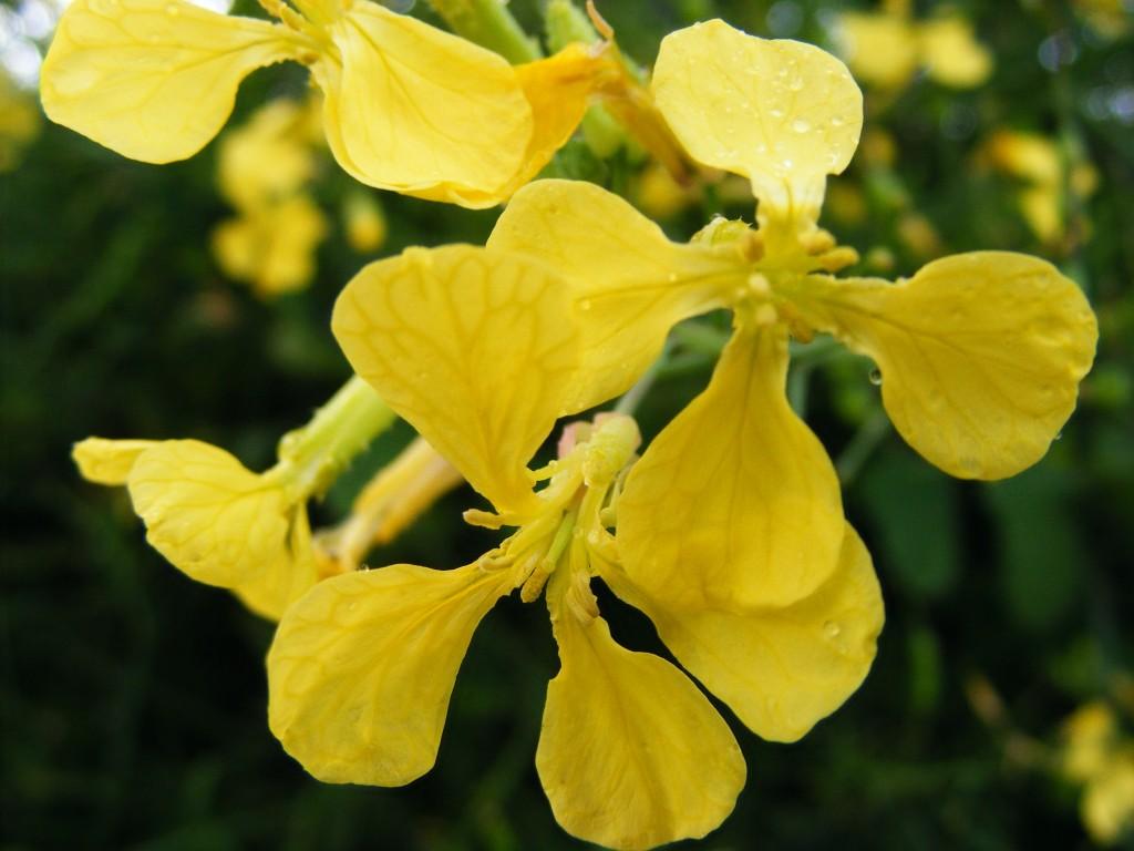Yellow plant at Tra Mhor