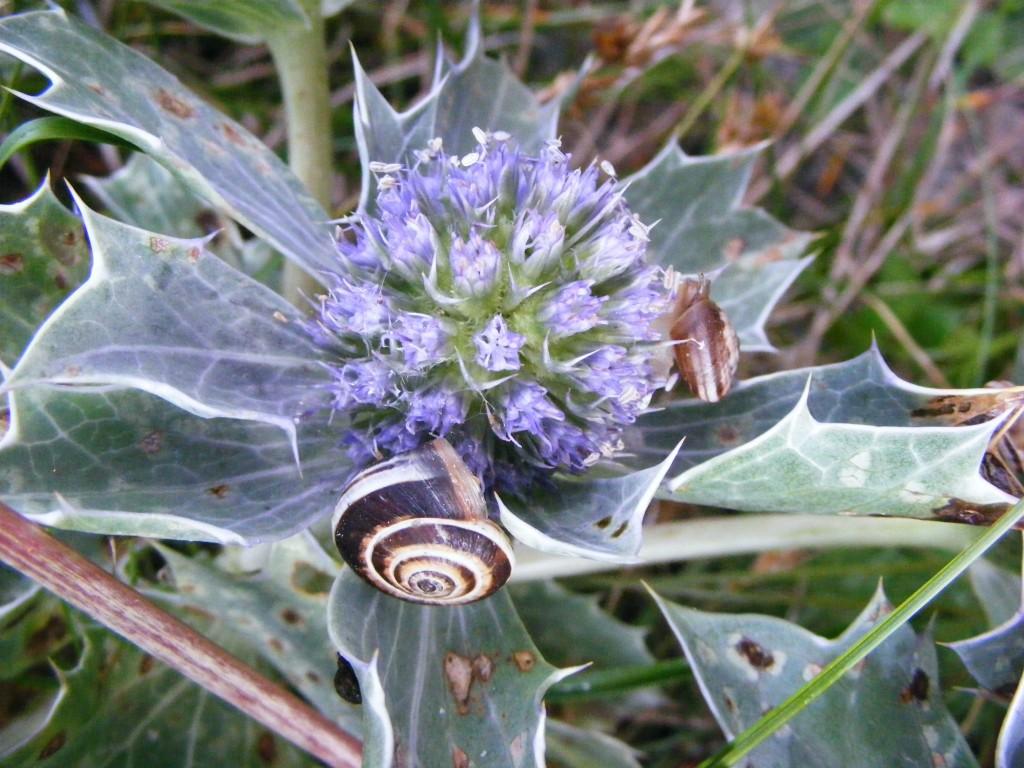 Snails on Sea Holly