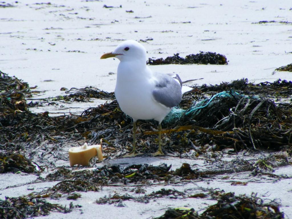 Seagull at Aillebrack beach