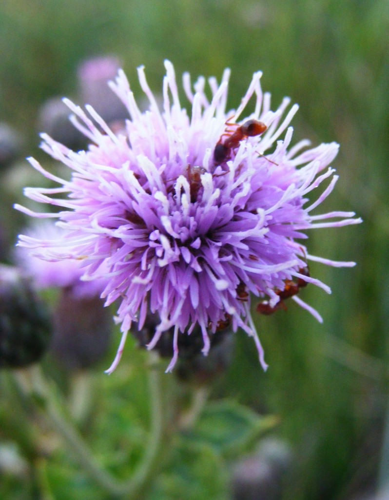 Ants feeding of a thistle flower