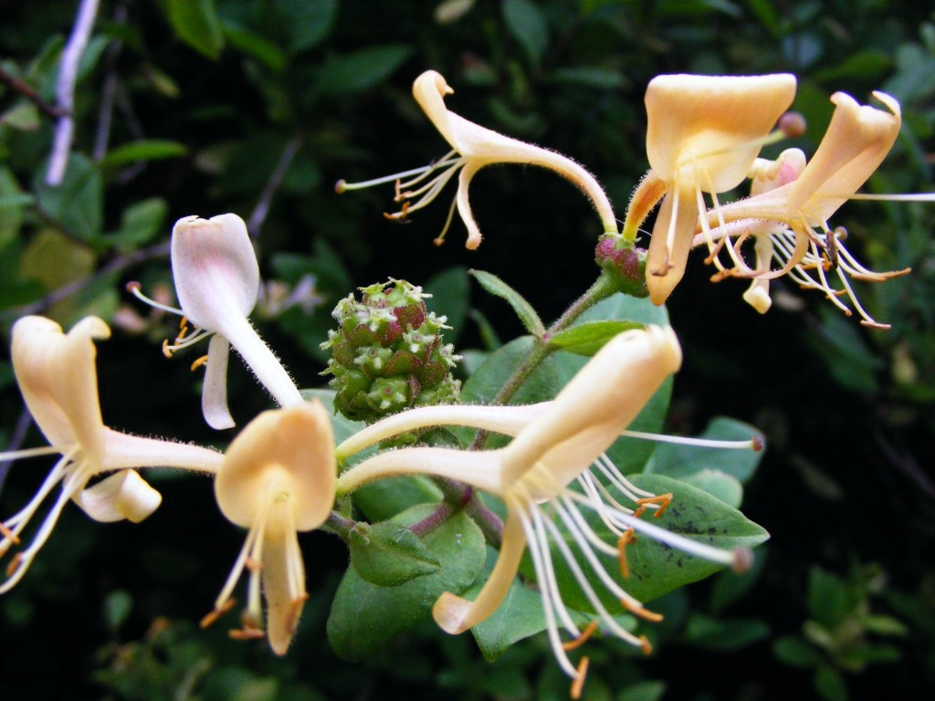 Close up of Honeysuckle