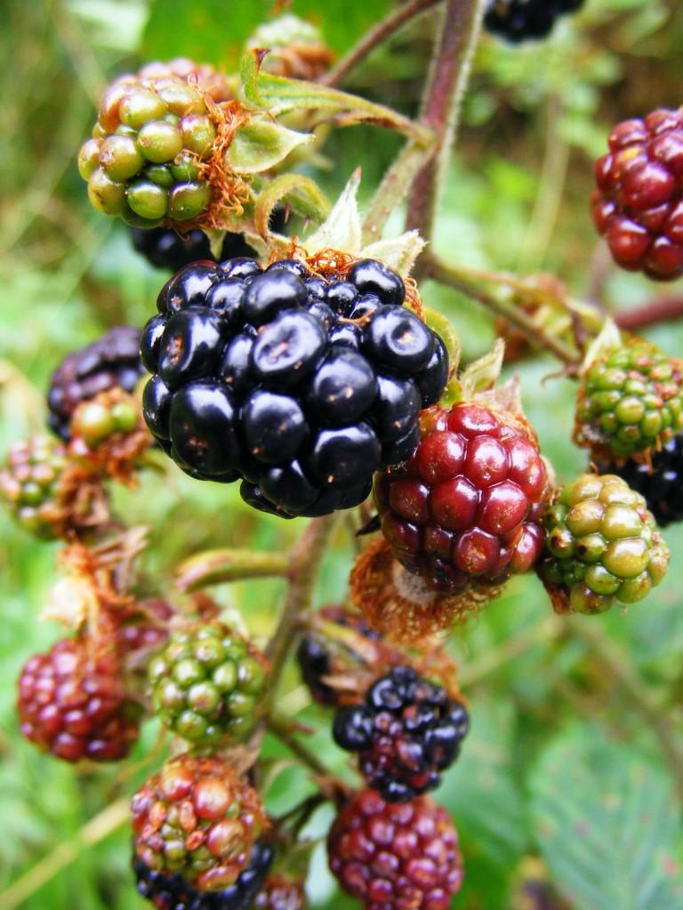 Photograph of blackberries by Deborah Watkins