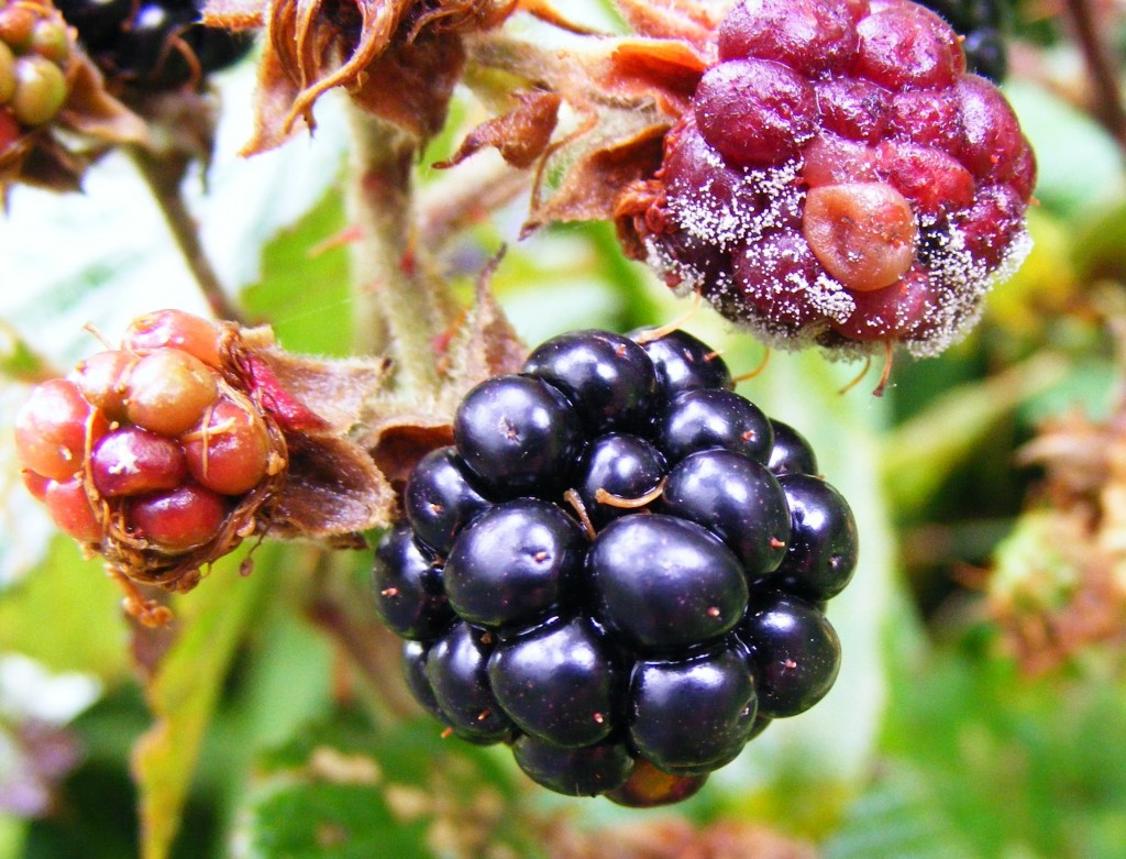 Photograph of rotting berries