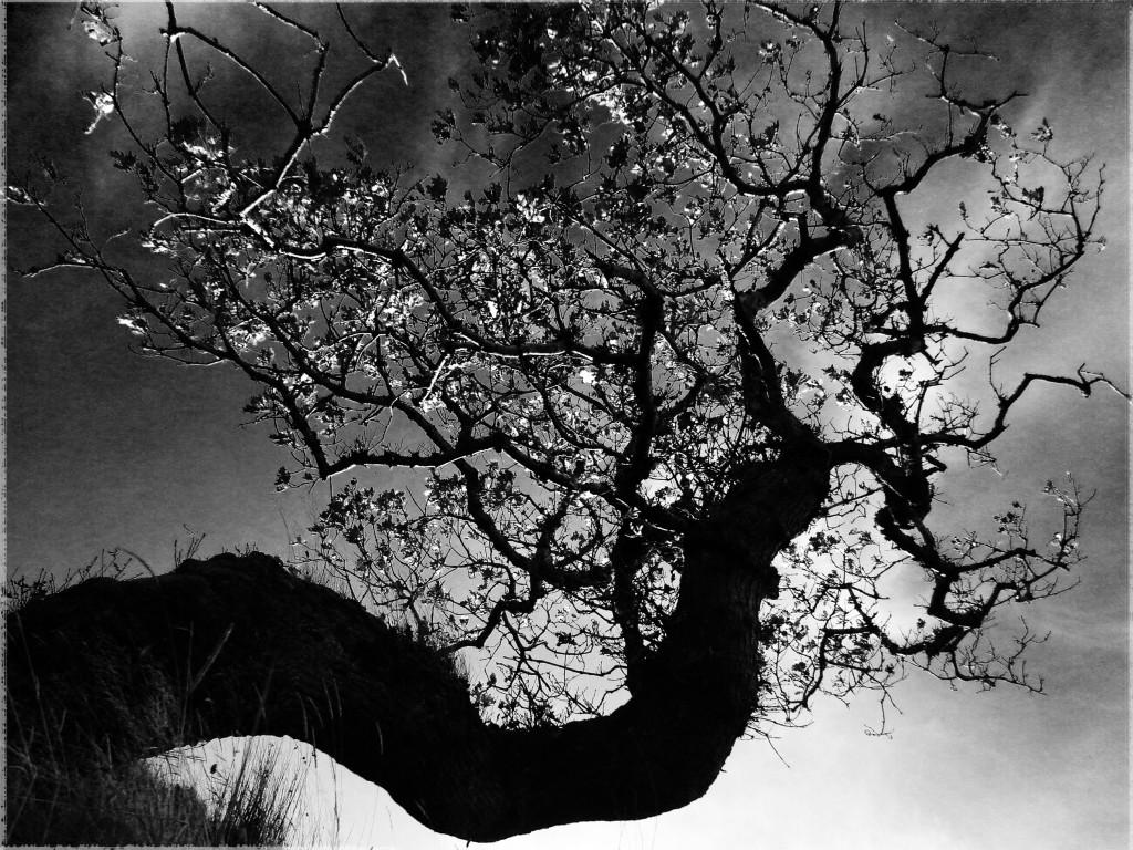 Twisted Oak by Inez Streefkerk