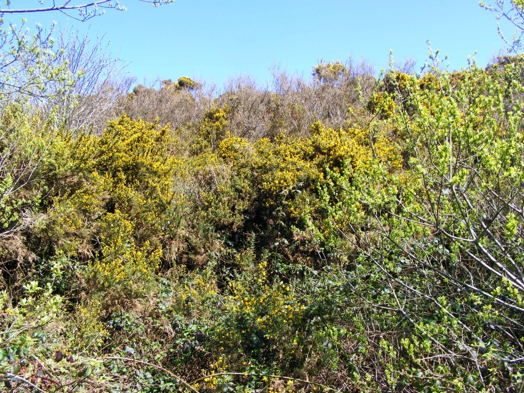 Photo of gorse bush