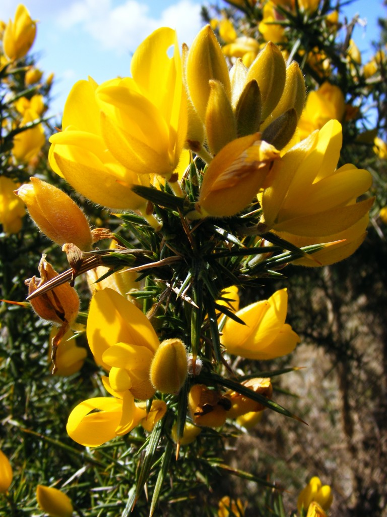 Photo of gorse by Deborah Watk