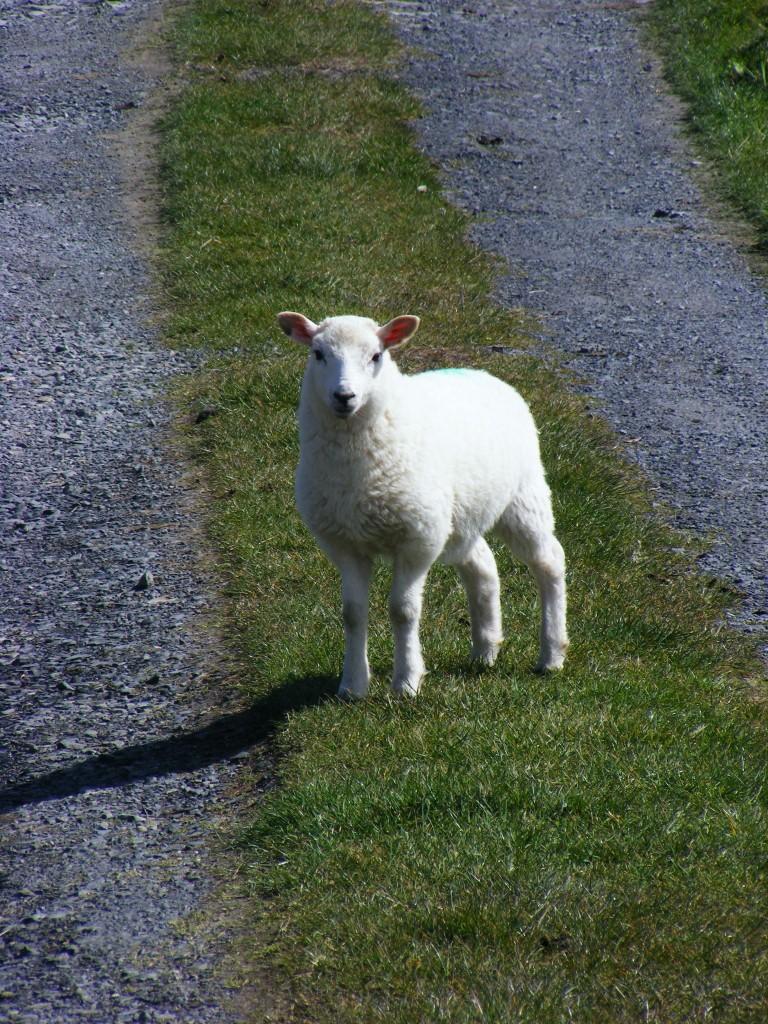 Lamb at Inishturk