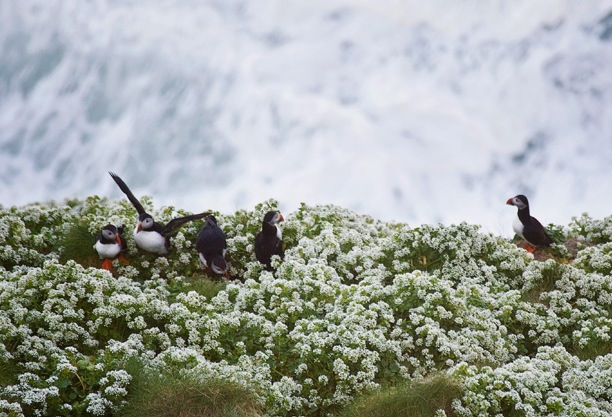 Puffins by Aoife Herriott