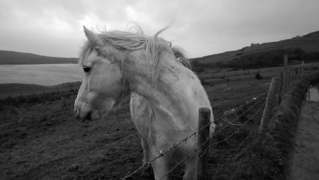 Pony near Clifden castle