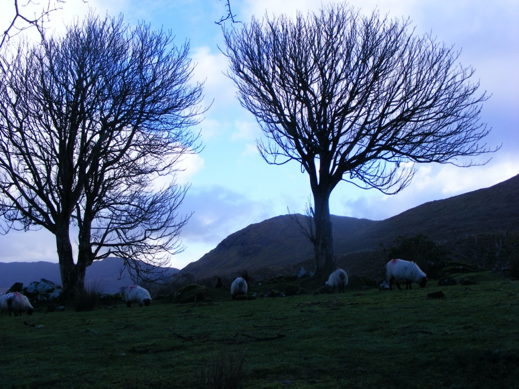 Trees near Leenane