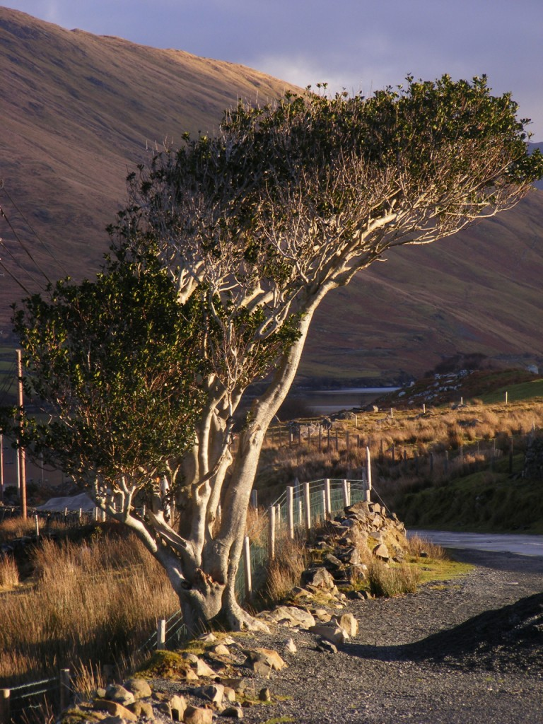 Curved tree near Leenane