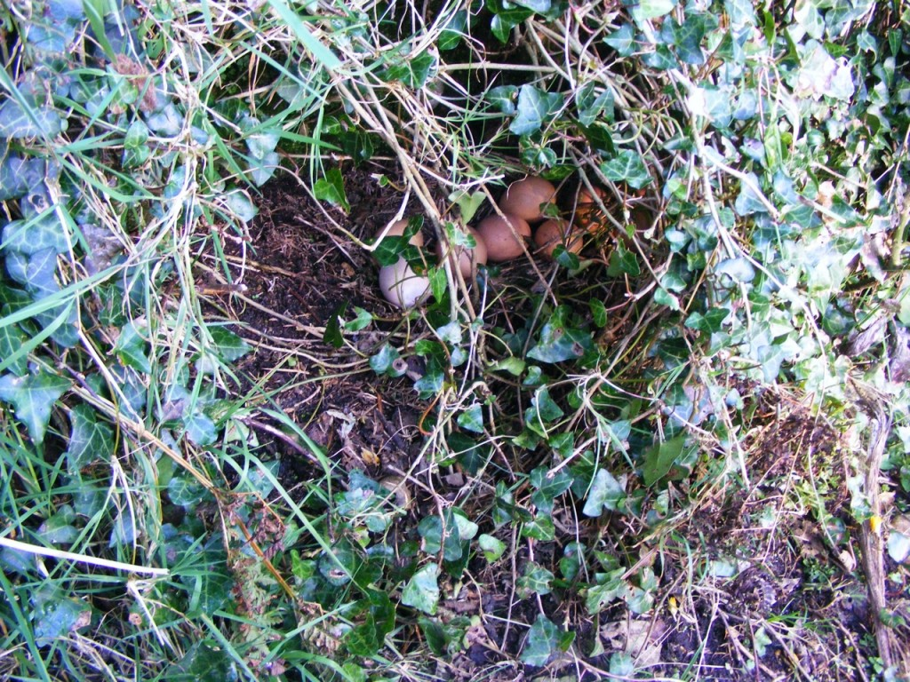 Eggs in the undergrowth