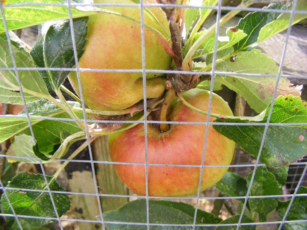 Close up of ripening apples