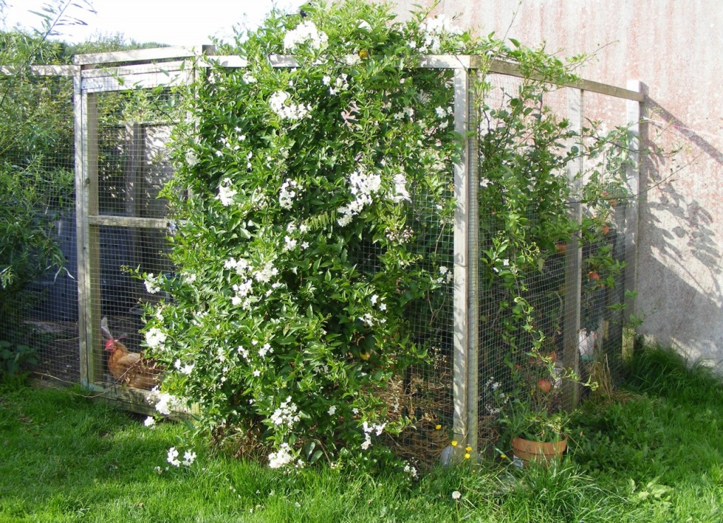Hen coop surrounded by Jasmine